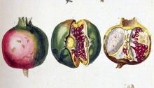 Frukter av Ehret